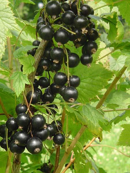 svarta vinbär sorter